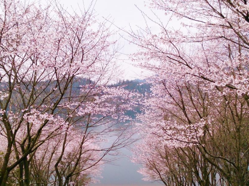 Sakura_800x600